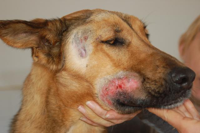 leishmaniosi cani nel cuore